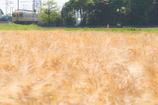出雲春景・麦色の季節