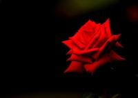 CANON Canon EOS-1D Mark IVで撮影した(Red Rose)の写真(画像)