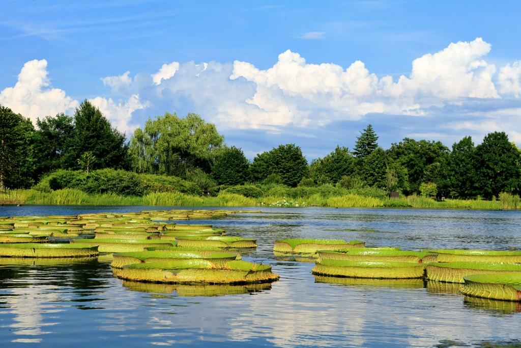 オオオニバスの池