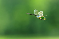飛んでいるトンボの写真