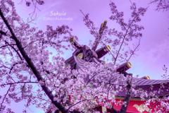 生田神社の桜・1