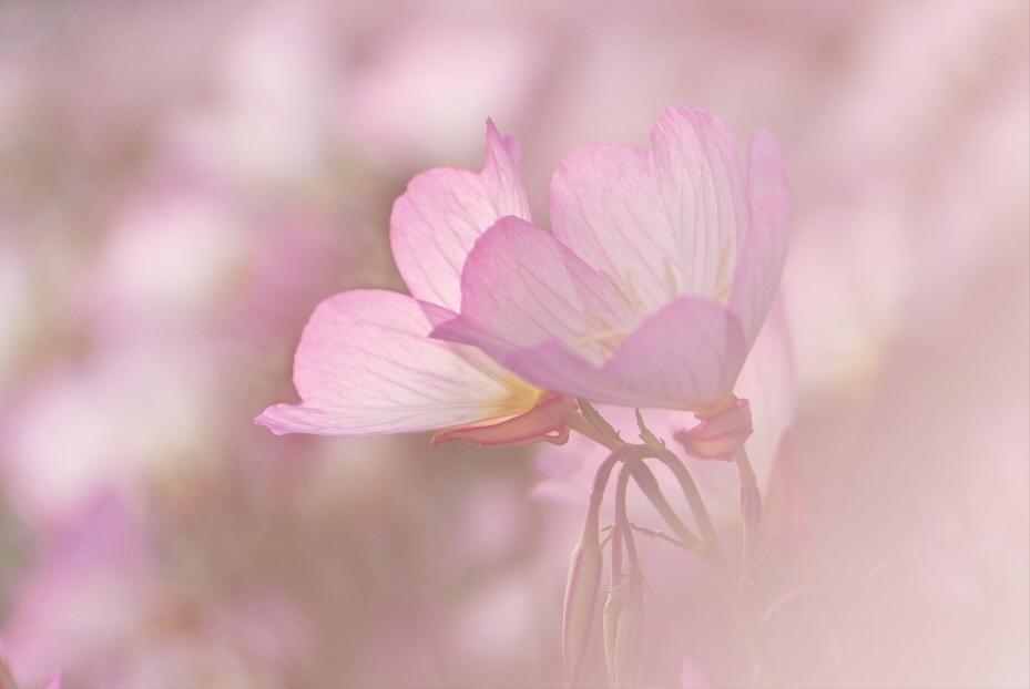 昼咲月見草 1