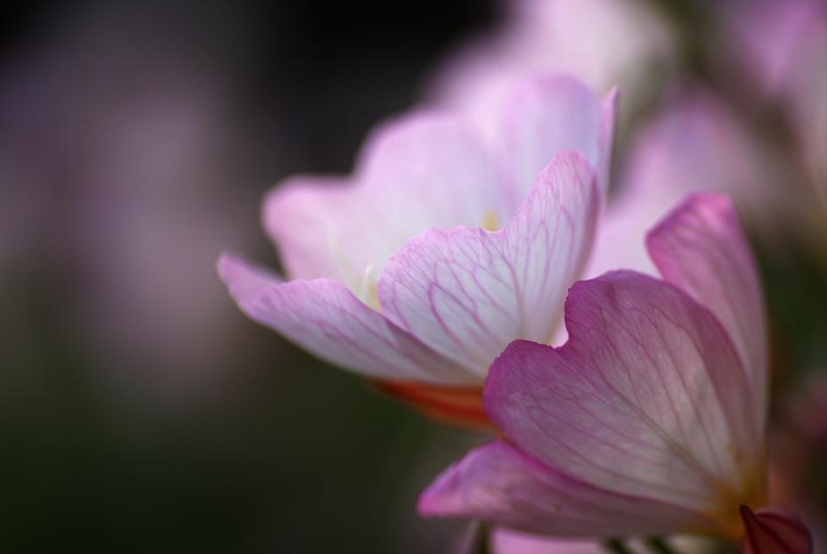 昼咲月見草 3