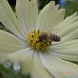 ミツバチと小宇宙