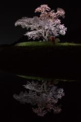 水面に浮かぶ春 - 小沢の桜