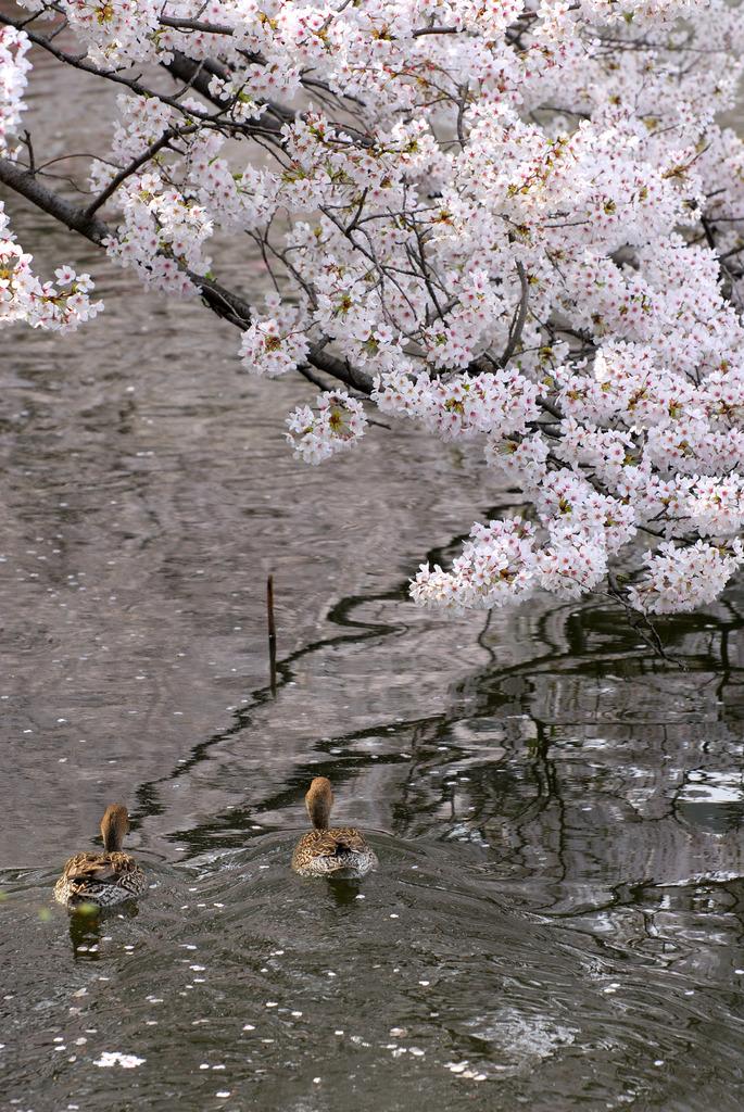 また桜の季節が来ました。