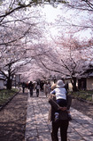 幸せの桜通り