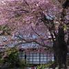 飯田家の桜