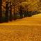 銀杏並木(横)