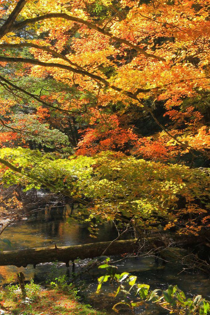 湯川の黄葉