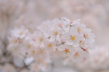 神代の桜(山高神代桜)