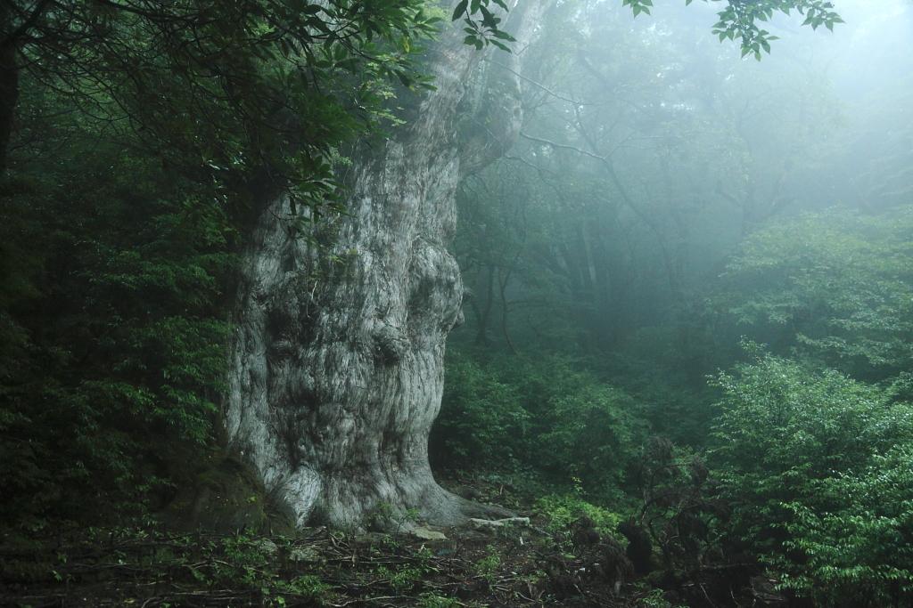雨の古の森にて