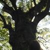日本一の大楠を見上げてみる