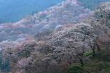 朝霧の吉野山