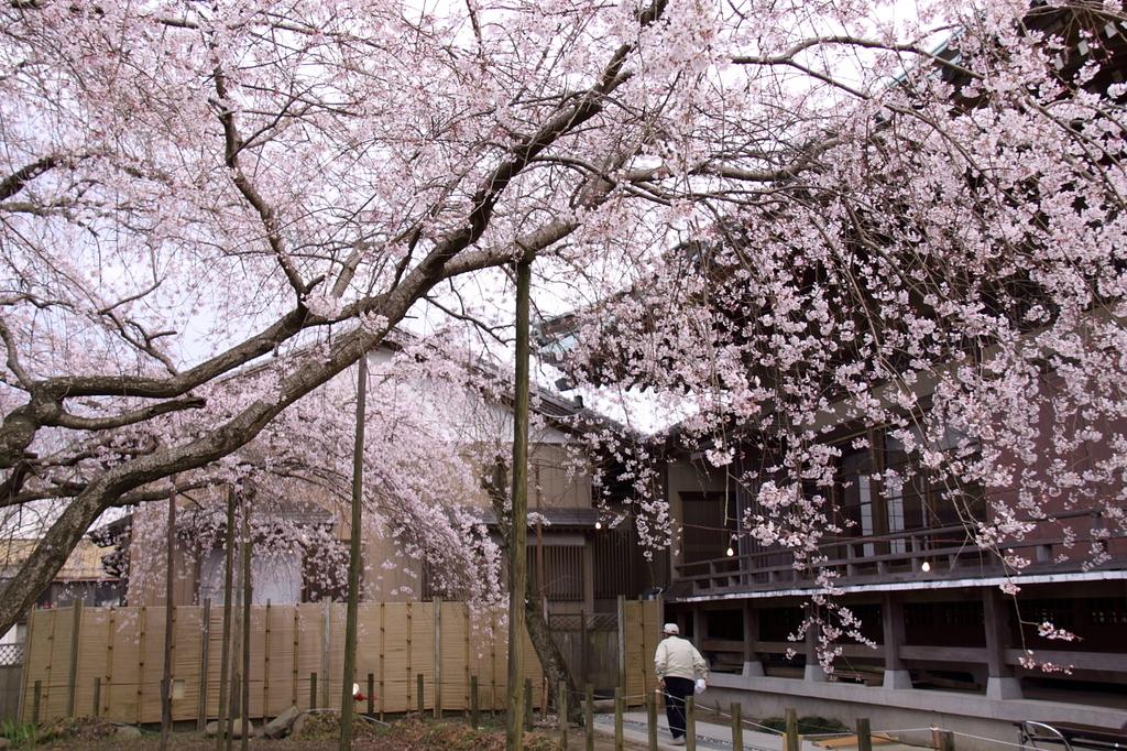 樹齢400年(1)