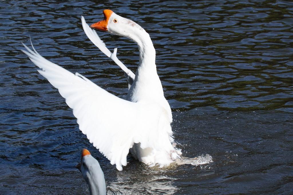 水鳥(4)