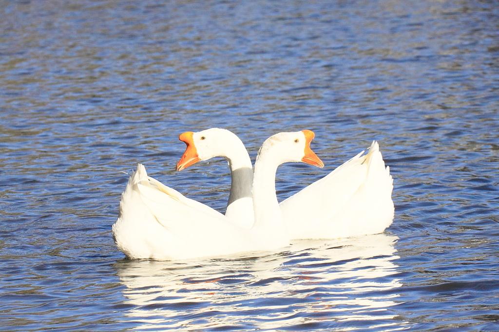 水鳥(2)