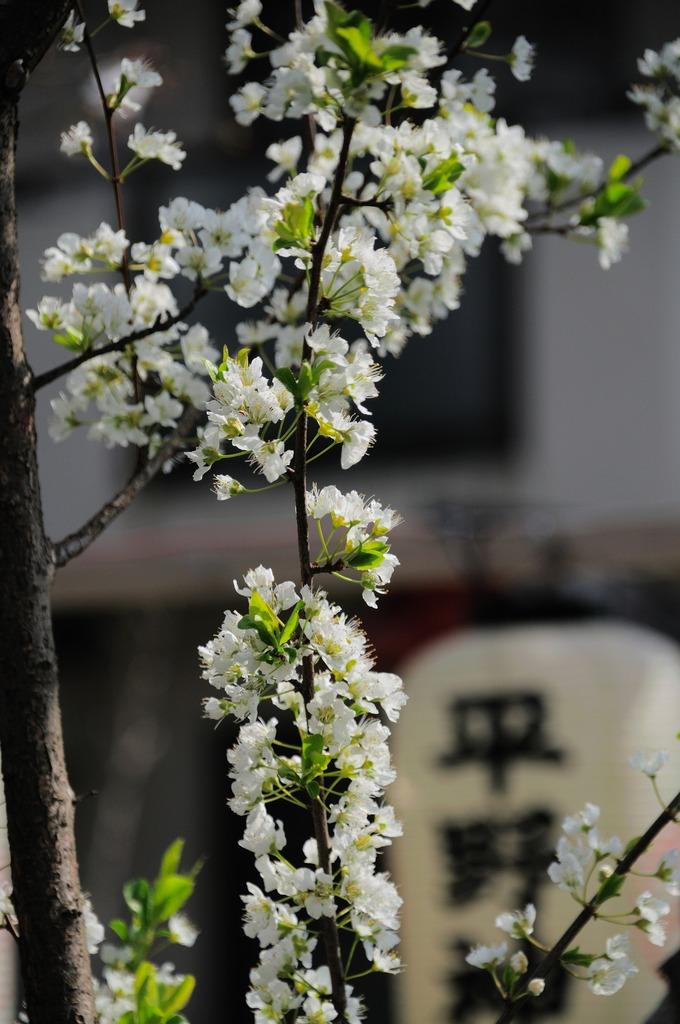 桜の親族すもも(バラ科サクラ属)