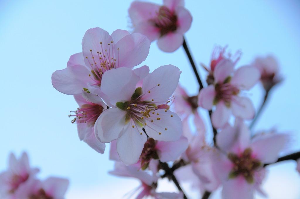 桜の同族アーモンド(バラ科サクラ属)