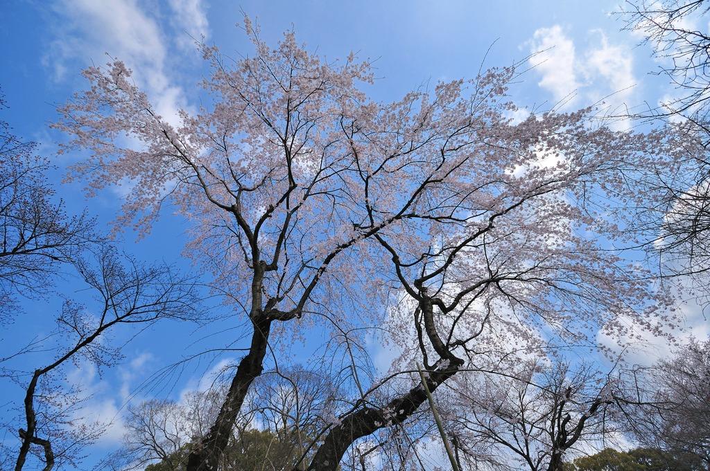 平野神社一番の桜?
