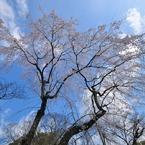 NIKON NIKON D90で撮影した植物(平野神社一番の桜?)の写真(画像)