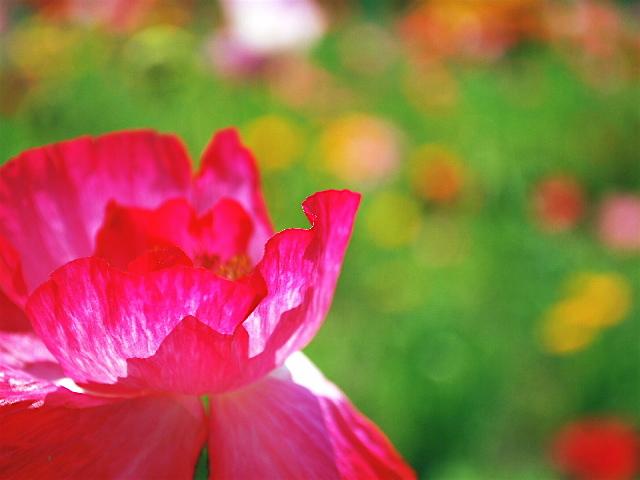 花びらの厚み