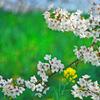出しゃばり菜の花☆