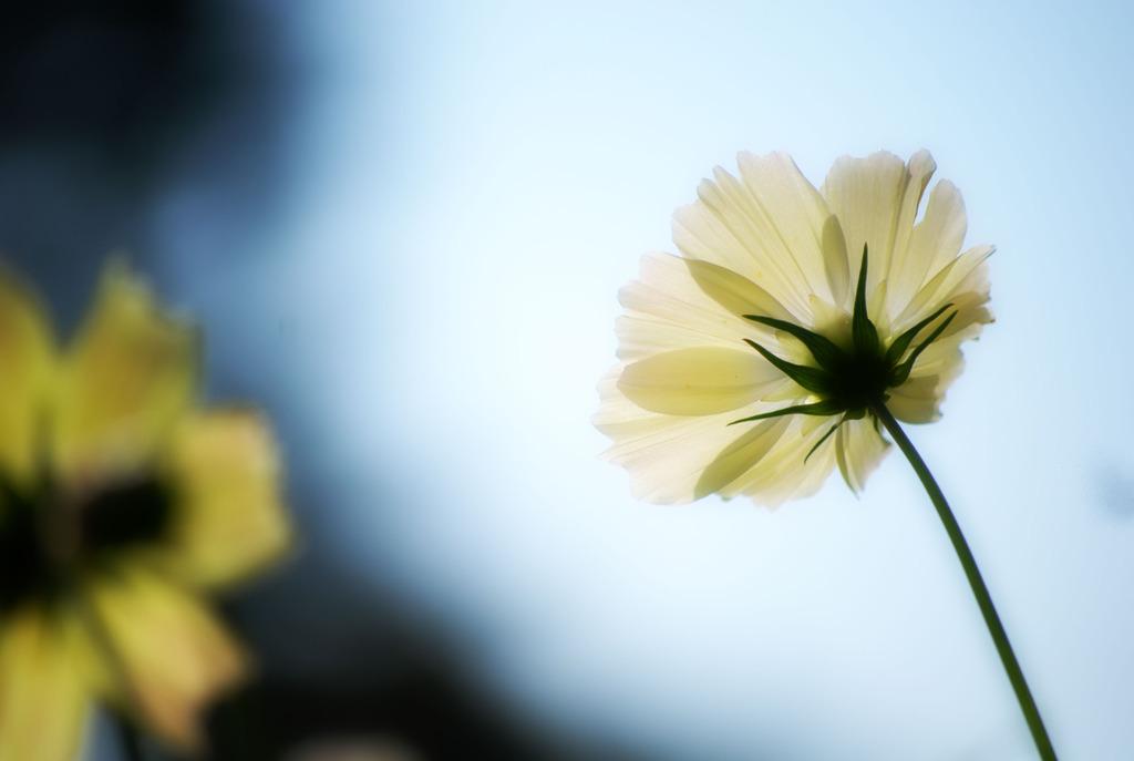 花びらを太陽に透かしてみれば