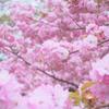 八重桜in弘前