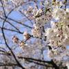 桜@井の頭恩賜公園