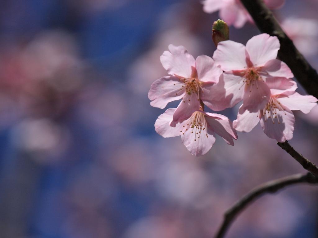 ?Sakura