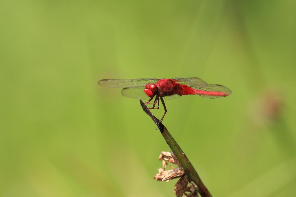 懲りずに 蜻蛉