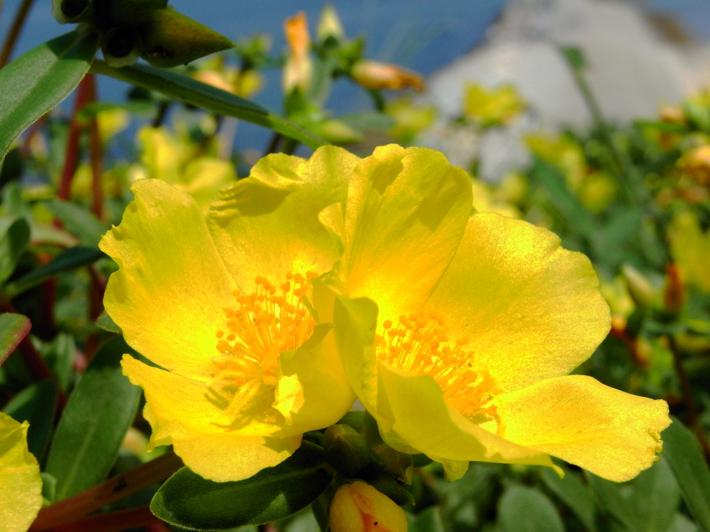 長崎鼻の花