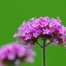 PENTAX PENTAX K20Dで撮影した植物(ヤナギハナガサ)の写真(画像)
