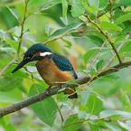 PENTAX PENTAX K20Dで撮影した動物(カワセミ 幼鳥)の写真(画像)