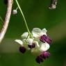 PENTAX PENTAX K10Dで撮影した植物(アケビ)の写真(画像)