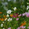 PENTAX PENTAX K20Dで撮影した植物(秋桜)の写真(画像)