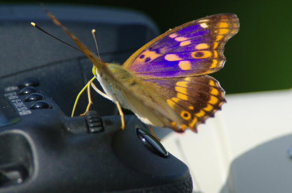 コムラサキタテハ蝶