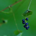 PENTAX PENTAX K20Dで撮影した植物(実)の写真(画像)