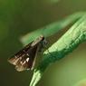 PENTAX PENTAX K20Dで撮影した動物(チャバネセセリ)の写真(画像)