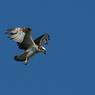 PENTAX PENTAX K20Dで撮影した動物(ミサゴ ホバリング)の写真(画像)