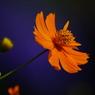 PENTAX PENTAX K20Dで撮影した植物(キバナコスモス)の写真(画像)