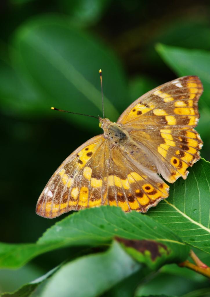 コムラサキタテハ蝶 ♀