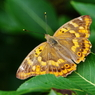 PENTAX PENTAX K20Dで撮影した動物(コムラサキタテハ蝶 ♀)の写真(画像)