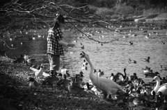 大池の白鳥と少女