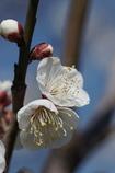 春を呼ぶ 3