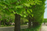 Green ginkgo