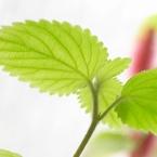 RICOH Caplio GX100で撮影した植物(Translucent Green)の写真(画像)