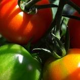 うちのトマト
