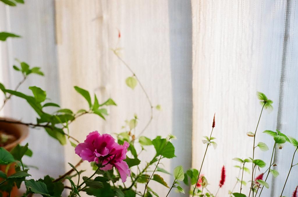 窓辺の花・ピンク